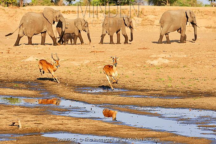 Puku (Kobus vardoni) chasing female with African elephant (Loxodonta africana) in the background, South Luangwa National Park, Zambia