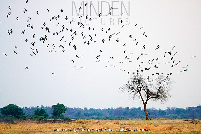 Abdim's stork (Ciconia abdimii) flock on migration arriving in South Luangwa National Park in november for rainy season, Zambia