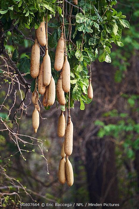 Sausage tree fruits (Kigelia pinnata) South Luangwa National Park, Zambia