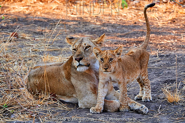 African lion (Panthera leo) female with cub, South Luangwa National Park, Zambia