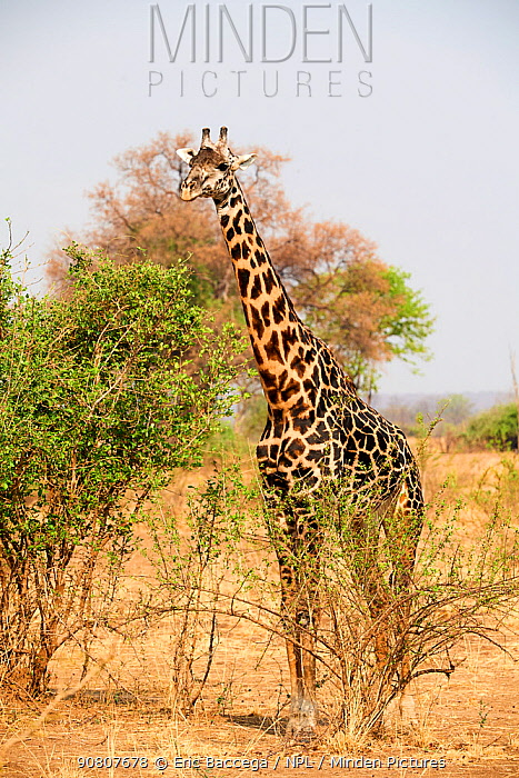 Male Rhodesian / Thornicroft giraffe (Giraffa camelopardalis thornicrofti) South Luangwa National Park, Zambia