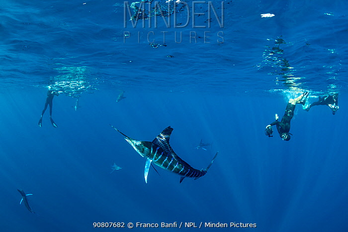 Striped marlin (Kajikia audax) hunting Sardine (Sardinops sagax), divers taking photographs in background. Magdalena Bay, Baja California Sur, Mexico. November 2018.