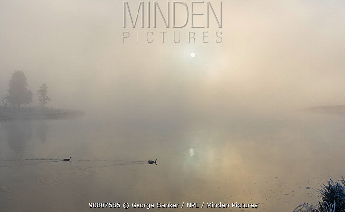 Canada goose ( Branta canadensis), two on Yellowstone River in morning mist. Yellowstone National Park, Wyoming, USA. September.