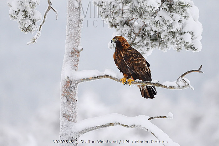 Golden eagle (Aquila chrysaetos) perched in snow covered tree. Kalvtrask, Vasterbotten, Lapland, Sweden. January.