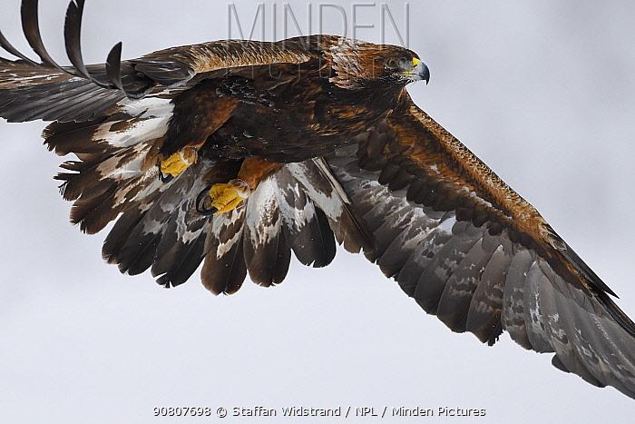 Golden eagle (Aquila chrysaetos) in flight, close-up. Kalvtrask, Vasterbotten, Lapland, Sweden. January.