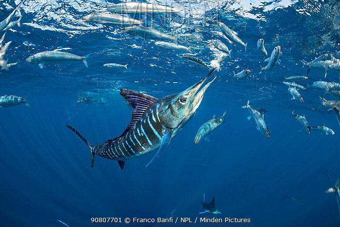 Striped marlin (Tetrapturus audax) feeding on Sardine (Sardinops sagax). Magdalena Bay, Baja California Sur, Pacific Ocean, Mexico.