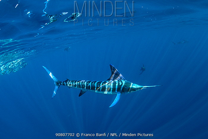 Striped marlin (Tetrapturus audax) hunting. Magdalena Bay, Baja California Sur, Pacific Ocean, Mexico..