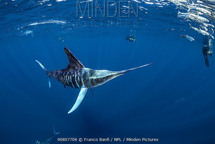 Striped marlin (Tetrapturus audax) hunting Sardine (Sardinops sagax), free divers taking photographs in background. Magdalena Bay, Baja California Sur, Pacific Ocean, Mexico.