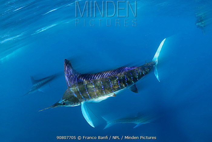 Striped marlin (Tetrapturus audax) feeding on Sardine (Sardinops sagax), blurred motion. Magdalena Bay, Baja California Sur, Mexico.