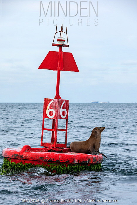 California sea lion ( Zalophus californianus), rests on buoy, Magdalena Bay, Baja California Sur, Mexico.