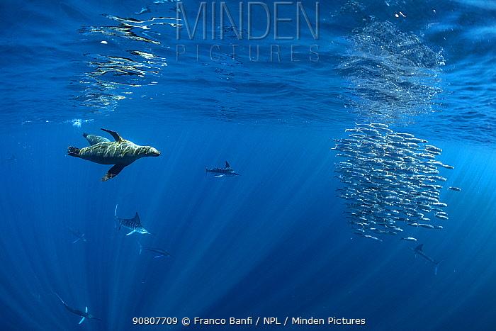 California sealion (Zalophus californianus) and Striped marlin (Tetrapturus audax) feeding on Sardine (Sardinops sagax) bait ball. Magdalena Bay, Baja California, Mexico.