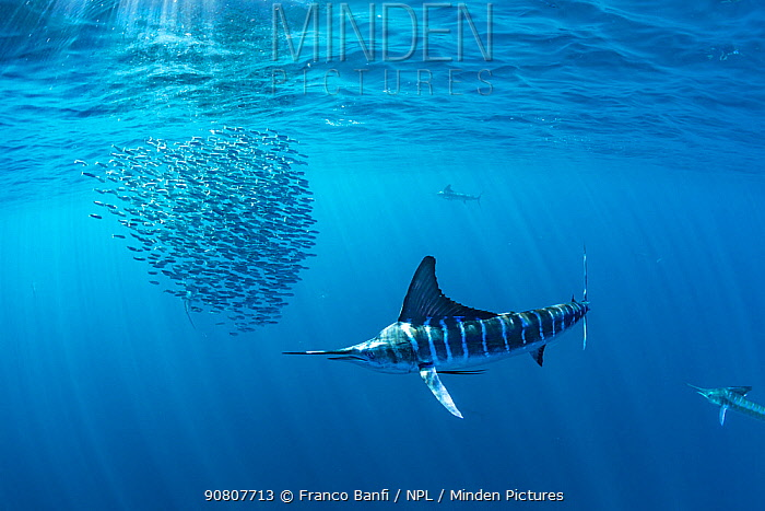 Striped marlin (Kajikia audax) hunting Sardine (Sardinops sagax) in bait ball. Magdalena Bay, Baja California Sur, Mexico.