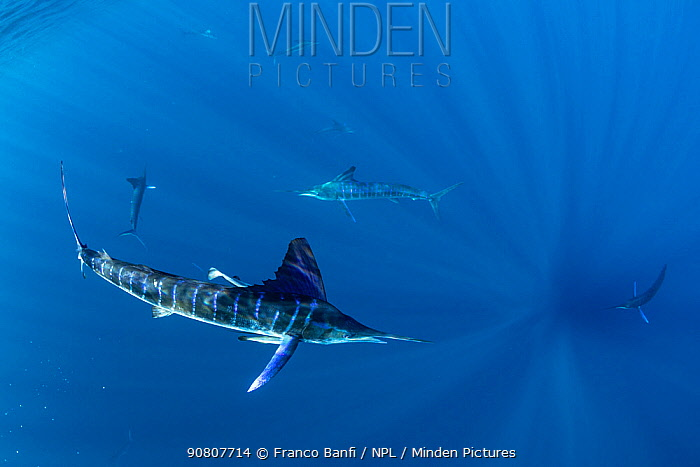 Striped marlin (Kajikia audax) group feeding. Magdalena Bay, Baja California Sur, Mexico.