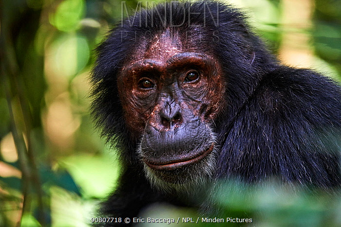 Chimpanzee male portrait (Pan troglodytes schweinfurthii) Kibale National Park, Uganda. January.