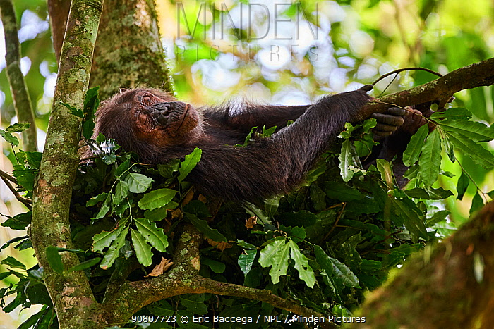 Chimpanzee female (Pan troglodytes schweinfurthii) sleeping in a nest built in a tree, Kibale National Park, Uganda, January.