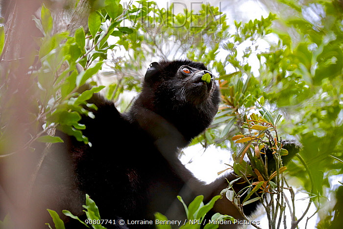 Perrier's sifaka (Propithecus perrieri) eating leaves in forest. Analamera National Park, Madagascar.