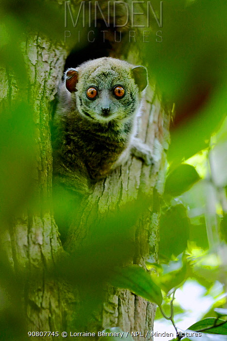 Ankarana sportive lemur (Lepilemur ankaranensis) looking out from hole in tree. Analamera National Park, Madagascar.
