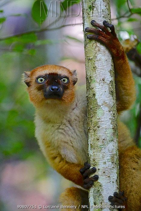 Blue-eyed lemur (Eulemur flavifrons) female climbing tree. Sahamalaza, Madagascar.
