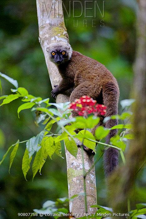 White-fronted brown lemur (Eulemur albifrons) climbing tree, looking at camera. Rainforests of the Atsinanana, Marojejy National Park, Madagascar.