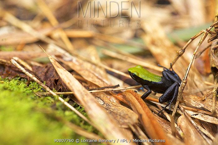 Marojezy mountain mantella (Mantella manery) frog in leaf litter. Marojejy National Park, Madagascar.