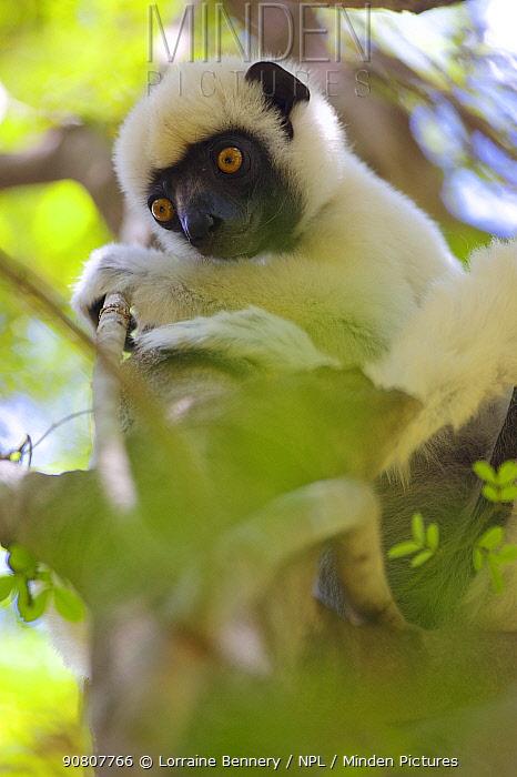 Van der Decken's sifaka (Propithecus deckenii) lin tree. Tsingy de Bemaraha National Park, Madagascar.