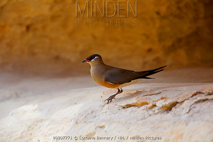 Madagascan pratincole (Glareola ocularis) on rock ledge. Tsingy de Bemaraha National Park, Madagascar.