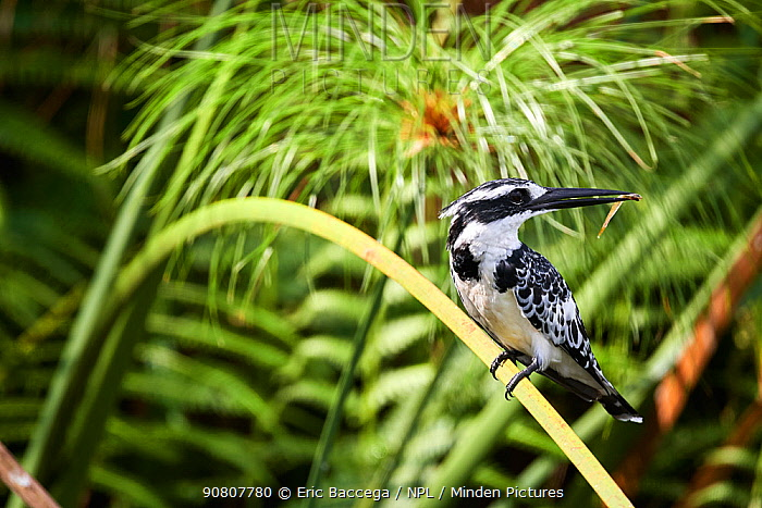 Pied kingfisher (Ceryle rudis) perched on a branch with fish prey. Murchisson Falls National Park, Uganda, February.