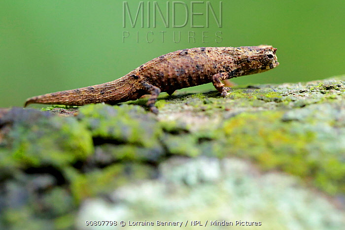 Minute leaf chameleon (Brookesia minima) female on tree trunk. The second smallest reptile in the world. Nosy Be, Madagascar.