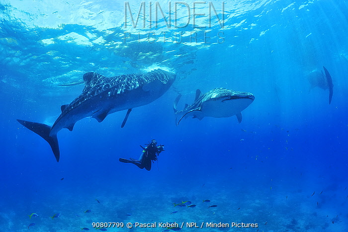 Whale sharks (Rhincodon typus) swimming with diver, Sulu Sea, Philippines.