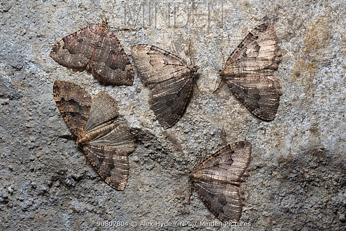 Group of Tissue moths (Triphosa dubitata) hibernating in a limestone cave. Peak District National Park, Derbyshire, UK. November.