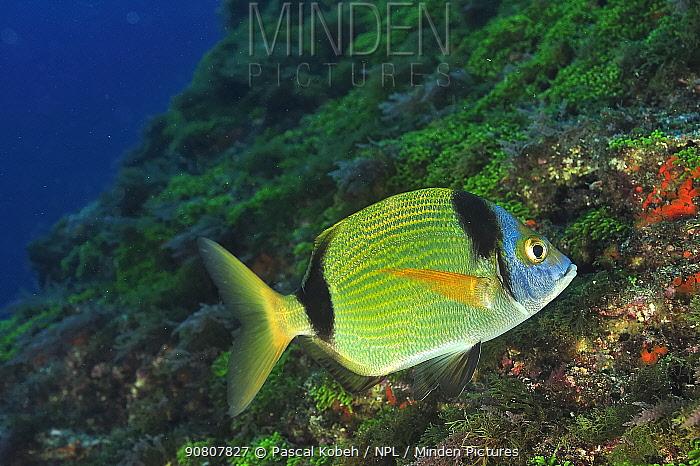 Common two-banded sea bream (Diplodus vulgaris) Azores, Atlantic ocean.