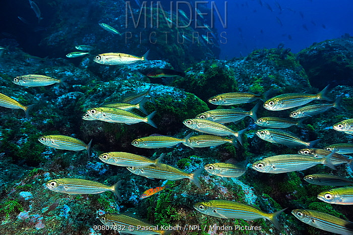 School of Bogues (Boops boops) on the reef, Azores, Atlantic ocean.