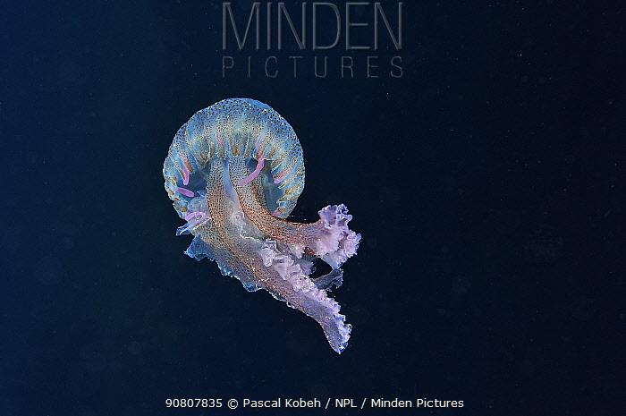 Mauve stinger jellyfish (Pelagia noctiluca) in open water. Azores, Atlantic ocean.