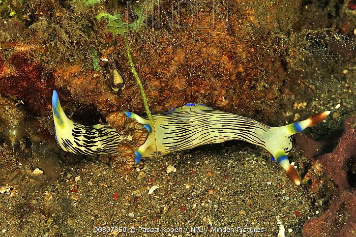 Lined nembrotha nudibranch (Nembrotha Lineolata) Sulu Sea, Philippines