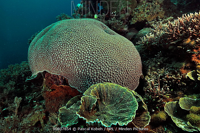 Reef with hard corals, with on the foreground (Leptoseris sp), a moon coral (Diploastrea heliopora) in the background and on the right Acropa tables coral (Acropora sp.) Sulu Sea, Philippines