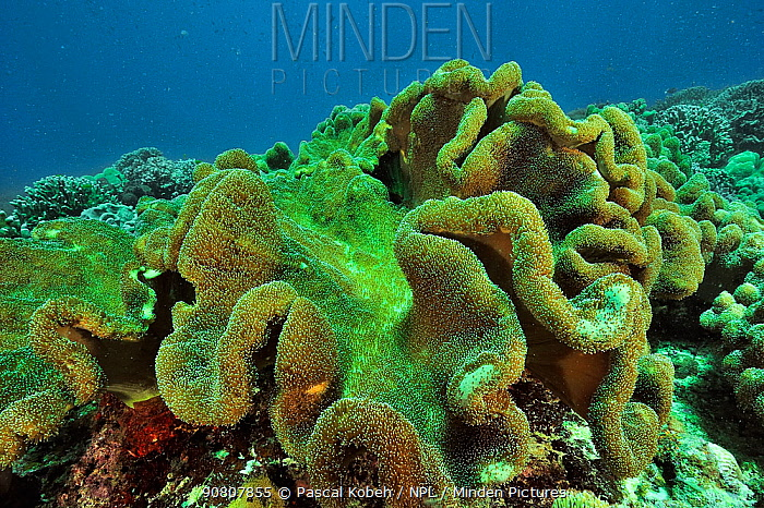 Soft corals (Sarcophyton sp.) with the polyps open, Sulu Sea, Philippines.