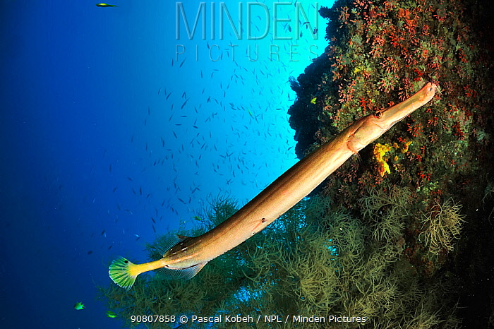 Trumpetfish (Aulostomus chinensis) on the coral drop off, Sulu Sea, Philippines.