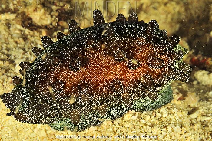 Mole cowry or chocolate banded cowry (Talparia talpa / Cypraea talpa) with its mantle covering it, at night, Sulu Sea, Philippines.