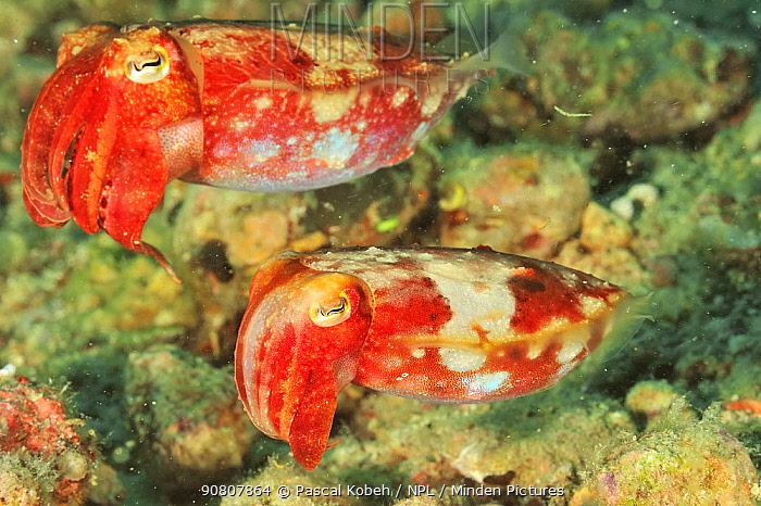 Two Papuan cuttlefish (Sepia papuensis) likely male and female, Sulu Sea, Philippines.