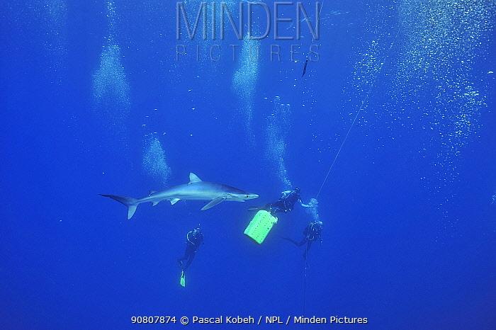 Blue shark (Prionace glauca) with divers, Azores, Atlantic Ocean.