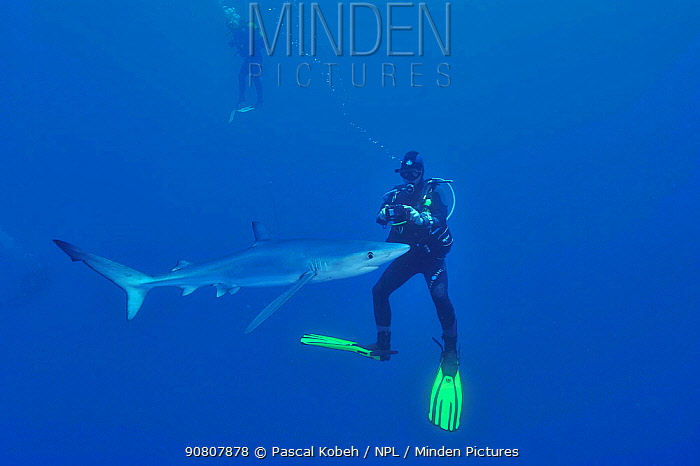 Blue shark (Prionace glauca) with divers filming or photographing it, Azores, Atlantic Ocean.
