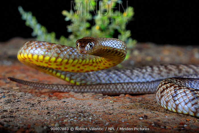 Strap-snouted brown snake (Pseudonaja aspidorhyncha) in pre strike position.Westmar, inland south-eastern Queensland, Australia.