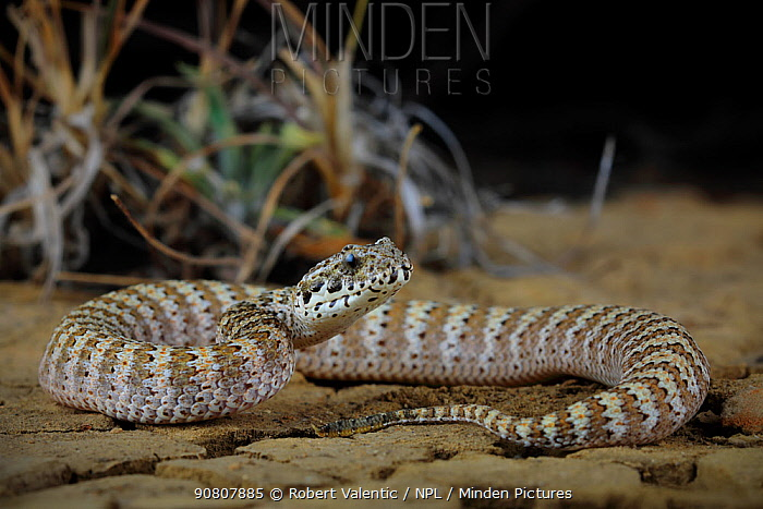 Barkly death adder (Acanthophis hawkei) juvenile, Barkly Stock Route, Northern Territory, Australia. May.