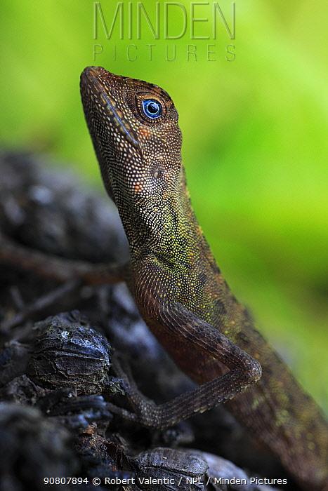 Earless agamid (Aphaniotis fusca) primary lowland rainforest, Tioman Island, Malaysia.