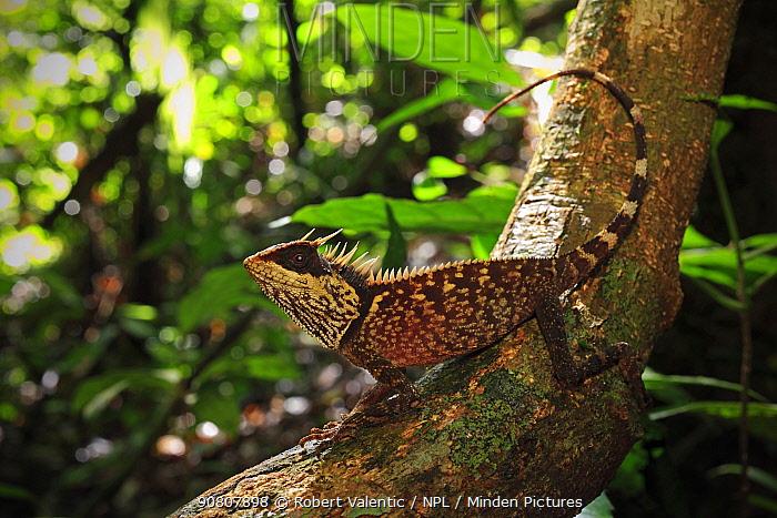 Phuket horned tree lizard (Acanthosaura phuketensis) near Bang Pae Waterfall, Khao Phra Thaew NP, Phuket Island, Thailand.