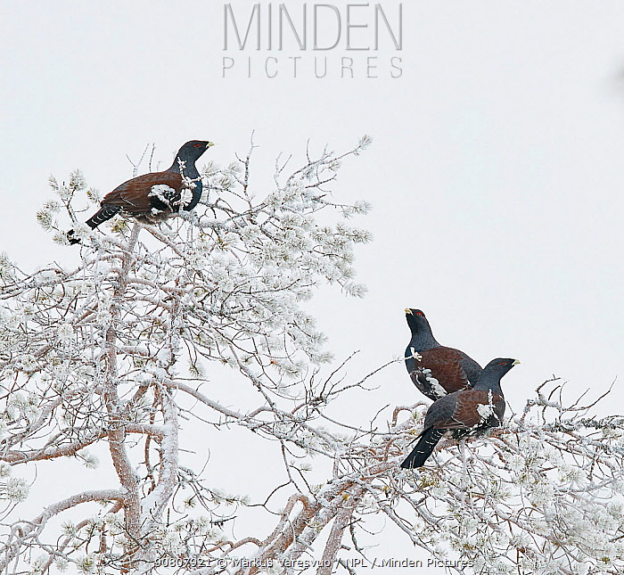 Capercaillie (Tetrao Urogallus) three males perched in frost-covered tree. Salla, Lapland, Finland. February.