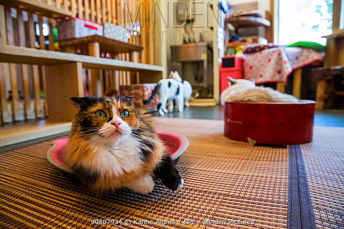 Calico cat resting at Kawaramati Cat Cafe, Kyoto, Japan