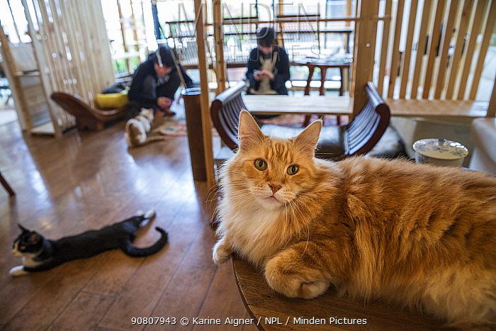 Fluffy ginger cat resting at Kawaramati Cat Cafe Kyoto, Japan