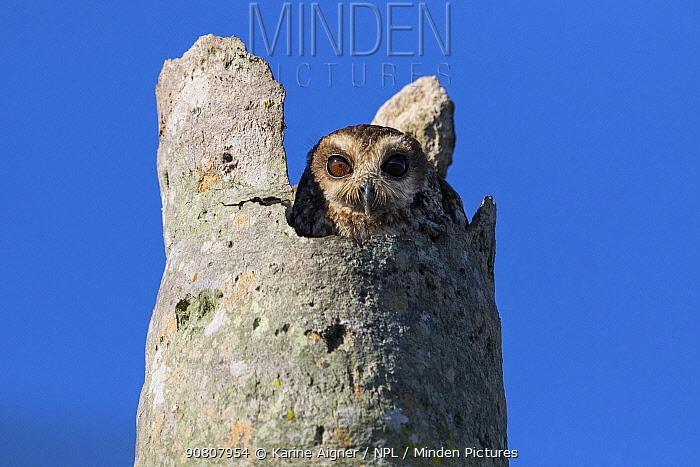 Cuban bare-legged owl (Margarobyas lawrencii) in nest hole. Cienaga de Zapata, Cuba.