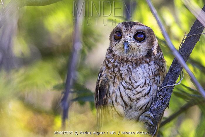 Cuban bare-legged owl (Margarobyas lawrencii) perched, Cienaga de Zapata, Cuba.